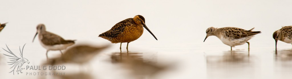 """Long-billed Dowitcher"""